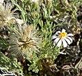 Chaetopappa ericoides 5.jpg