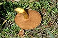 Chalciporus.piperatus2.-.lindsey.jpg