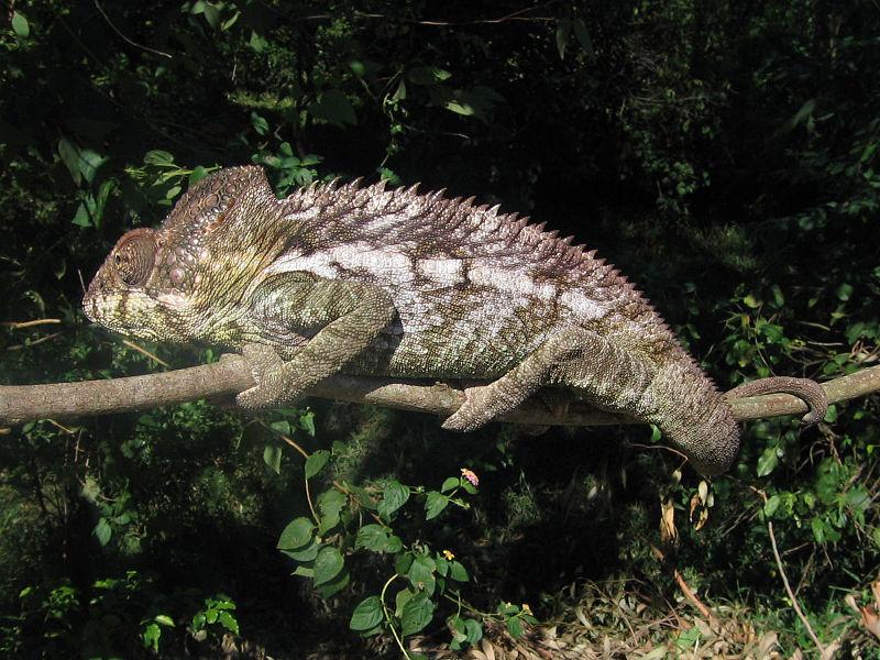 الحـرباء 800px-Chameleon_in_Berenty_Madagascar_0002.JPG