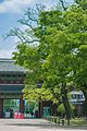 Changdeokgung Heohwanamugun Trees (창덕궁 회화나무군) - 10.jpg