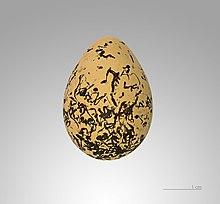 Resultado de imagen de Charadrius alexandrinus nido