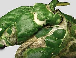 Pegomya hyoscyami - Image: Chard leaf miner damage (blisters)