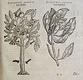 Charles de l'Ecluse, Exoticorum libri decem (Antwerp, 1605) (11291013156).jpg