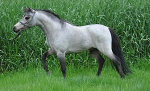 Miniature horse - Miniature horse stallion