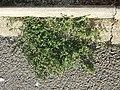 Chenopodium vulvaria sl80.jpg