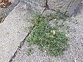 Chenopodium vulvaria sl98.jpg