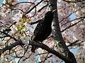 Cherry Blossom DC 2014 (14077779686).jpg