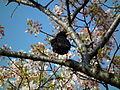 Cherry Blossom DC 2014 (14100890415).jpg
