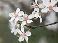 Cherry blossom (12876616835).jpg