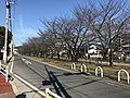 Cherry trees near Zasshonokuma Station 20180304-1.jpg
