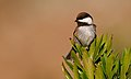 Chestnut-backedChickadee-17DEC2016.jpg