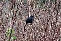 Chestnut-capped Blackbird (Chrysomus ruficapillus) (8077645688).jpg