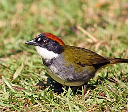 Chestnut-capped brushfinch (Arremon brunneinucha elsae).jpg