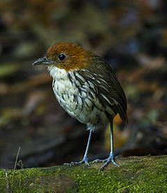 Chestnut-crowned Antpitta - Colombia.jpg