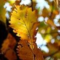 Chestnut Oak (31028949061).jpg