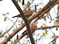 Chestnut tailed starling-kahhur@ - 1.jpg