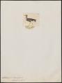 Chettusia lateralis - 1820-1860 - Print - Iconographia Zoologica - Special Collections University of Amsterdam - UBA01 IZ17200143.tif