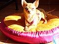 Chihuahua Hembra.JPG