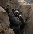 Chimpanzee (3847028787).jpg