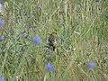 Chloris chloris, Srbija (13).jpg
