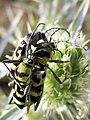 Chlorophorus varius 13.2.jpg