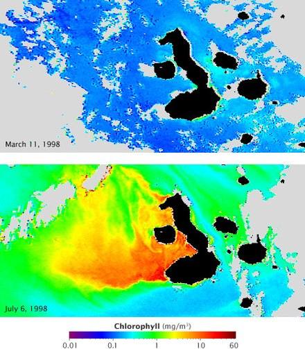 These satellite maps show chlorophyll concentration (which corresponds with the abundance of phytoplankton) during El Niño (top) and La Niña (lower). Blue represents low concentrations, yellow, orange and red indicate high concentrations. Currents that normally fertilize the phytoplankton reverse during El Niño, resulting in barren oceans. These same currents are strengthened by La Niña, resulting in an explosion of ocean life. Chlorophyll concentration off the Galapagos archipelago during El Niño and La Niña.jpg