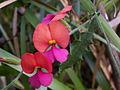 Chorizema ilicifolium flowers.JPG