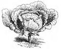 Chou Milan des Vertus Vilmorin-Andrieux 1883.png