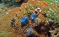 Christmas Tree Worms (Spirobranchus giganteus) - Coral Alley, Pulau Bohayan, Sabah, Malaysia.jpg