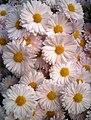 Chrysanthemum (Kogiku)2.jpg
