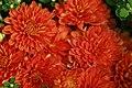 Chrysanthemum Bold Gretchen 1zz.jpg
