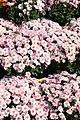 Chrysanthemum Milano Pink 1zz.jpg