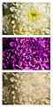 Chrysanthemum flower 2 Spectral Comparison Vis UV IR.jpg