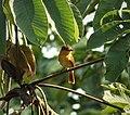 Cinnamon Becard Pachyramphus cinnamomeus (27961944017).jpg