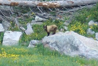 Cinnamon bear subspecies of bear