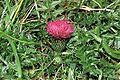 Cirsium acaule eF.jpg