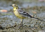 Citrine wagtail I IMG 8326