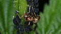 Citronella Ant (Lasius sp.) and Aphids (Aphididae) - Guelph, Ontario 02.jpg