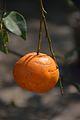 Citrus sinensis - Alipore - Kolkata 2013-02-10 4597.JPG