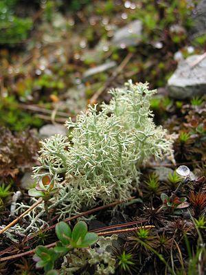 Common reindeer lichen (Cladonia portentosa)