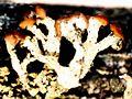 Cladonia botrytes-2.jpg