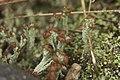 Cladonia sp. (37895989464).jpg