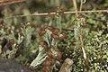 Cladonia sp. (38580891692).jpg