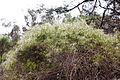 Clematis aristata (Old Man's Beard), Werribee Gorge State Park, Victoria Australia (5106945356).jpg