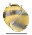 Clithon diadema shell.png