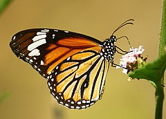 Close wing position of Danaus genutia Cramer 1779 - Striped Tiger WLB.jpg