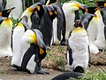 Closeup of molting from the front King Penguin Colony Tierra del Fuego Chile.jpg