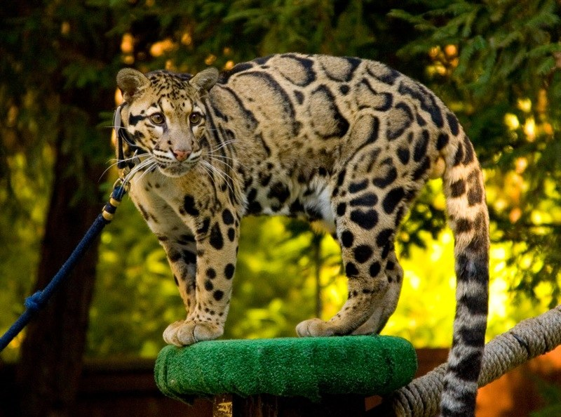 Clouded Leopard SanDiegoZoo