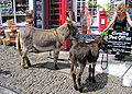 Clovelly donkeys arp.jpg