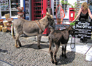 Clovelly - Donkeys on the steep main street, outside the village's post office. The slope can be seen by comparing the cobbled street with the (level) slate pavement in front of the shop.